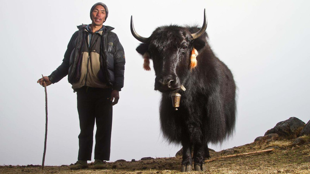 Yak in Kanchenjunga