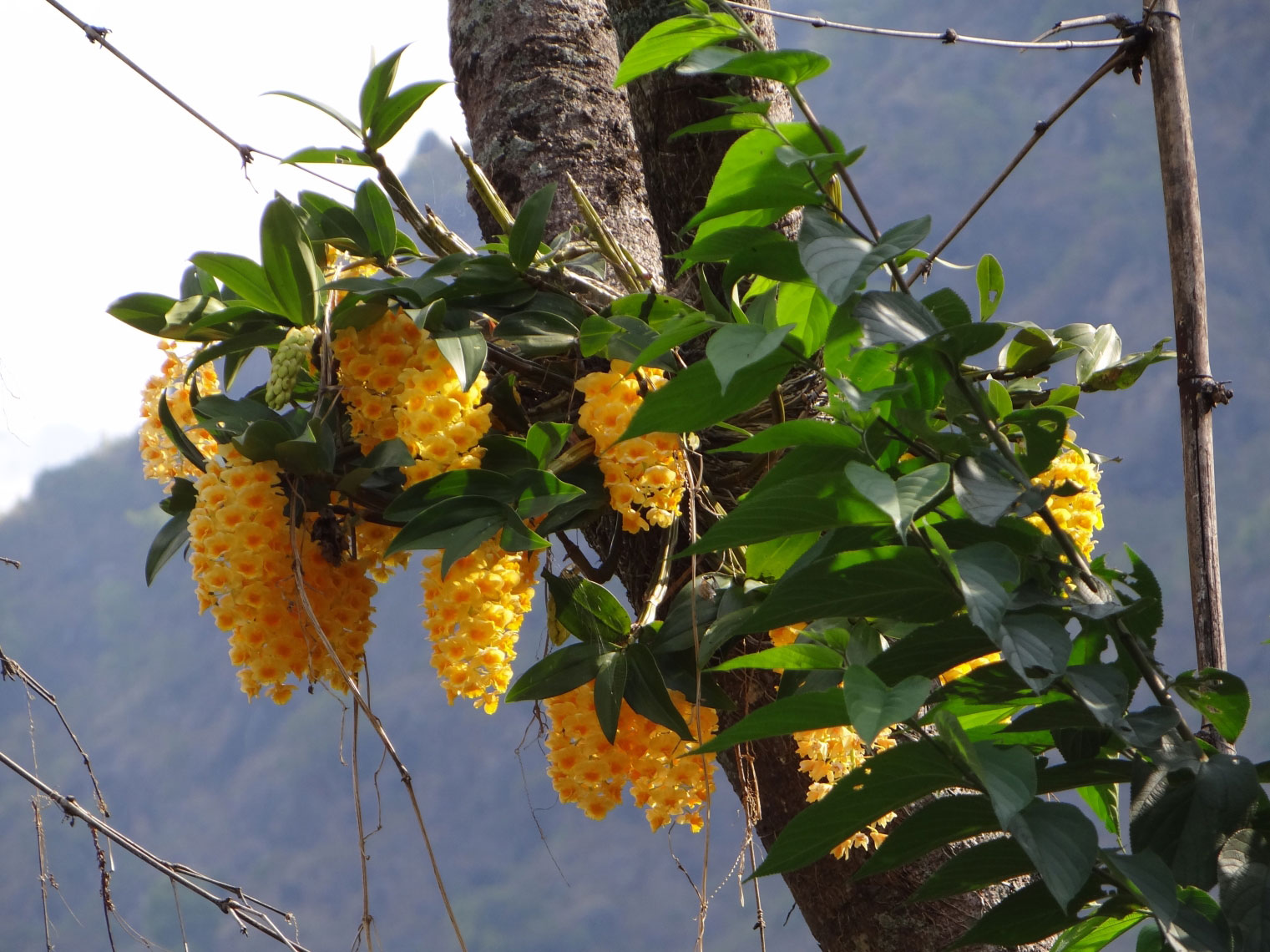 Dendrobium-On-The-Tree