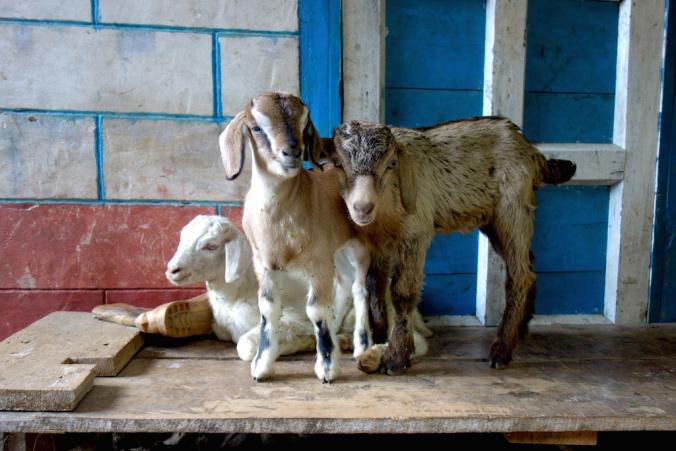 Goat at Amjilasha