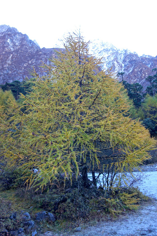 Larch on the way back down to Ghunsa.