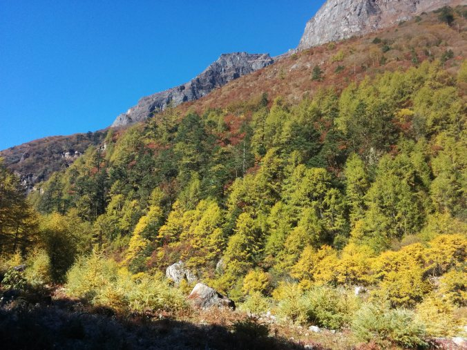 Larches on the way to Khangbachen