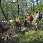 Mules in Kanchenjunga