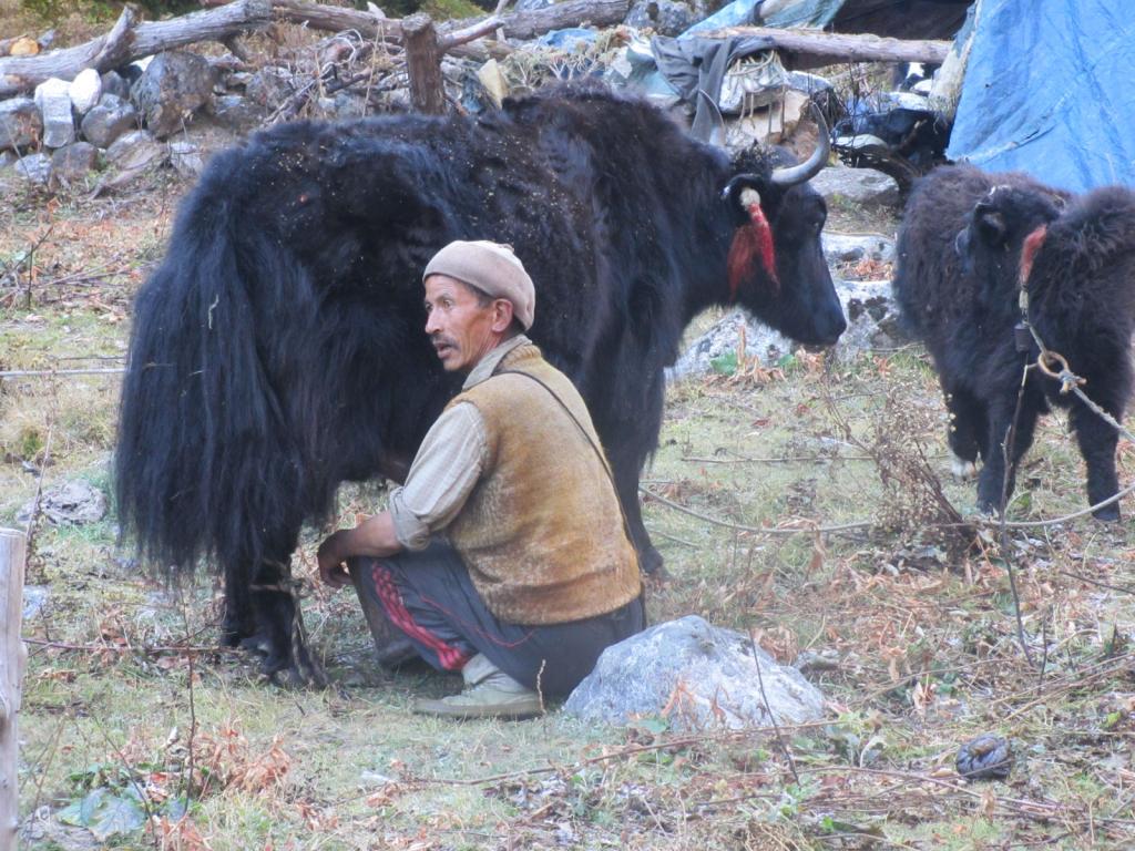 Yak-in-kanchenjunga