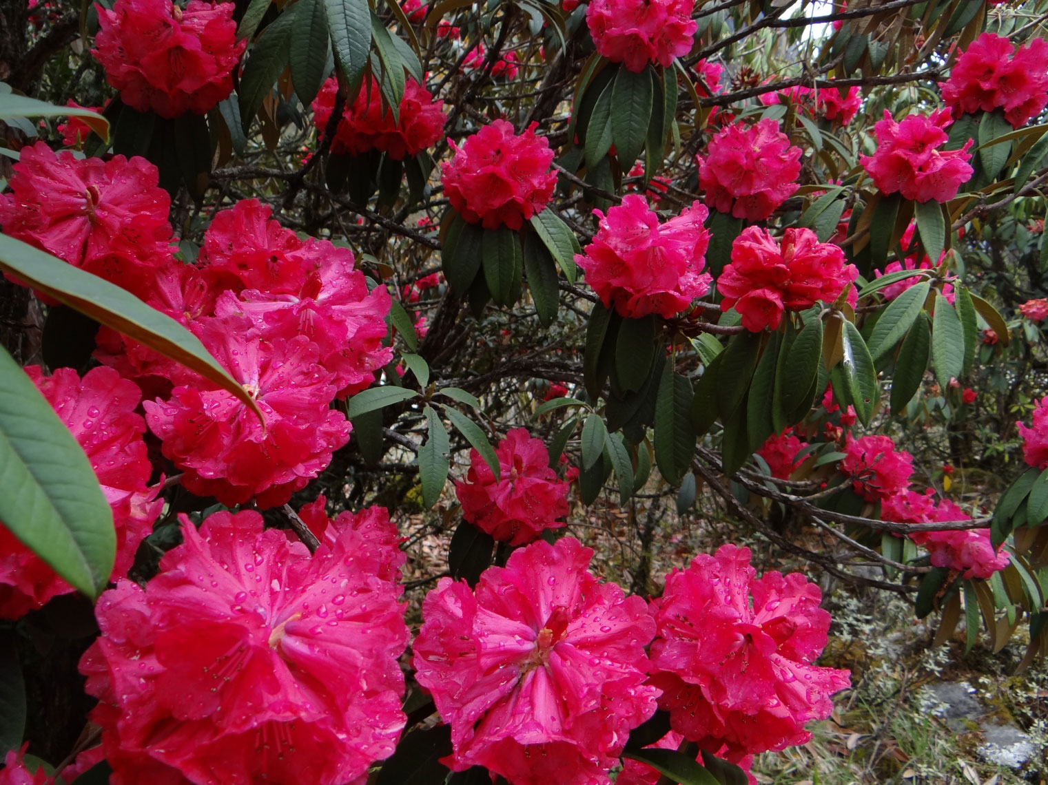 rhododendron-paradise